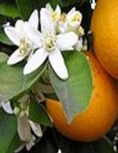 Ormus Minerals Orange Anointing Oil