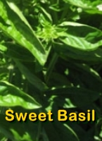 Sweet Basil Essential Oil Beneftis