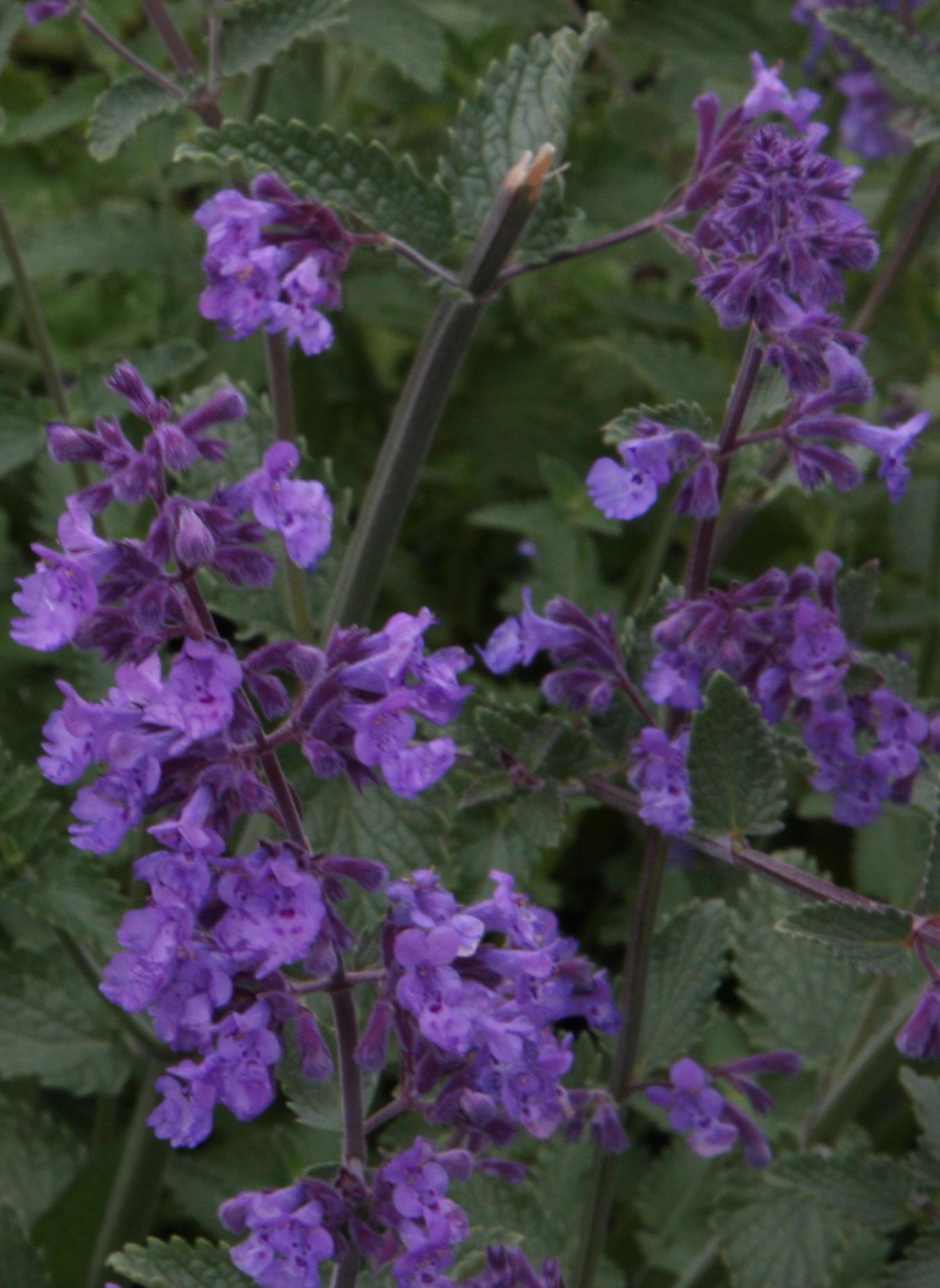 Ormus Rich Dead Sea Salt Mineral Skin Cream with Lavender
